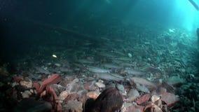 Forel visserij onderwater in stroom van water van Lena River in Siberië van Rusland stock footage