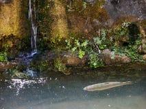 Forel in water royalty-vrije stock foto's
