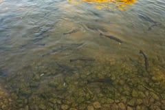 Forel in water van een meer royalty-vrije stock afbeelding