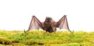 Forelimbs adattati come ali Mammiferi naturalmente capaci del volo vero e continuo Il pipistrello emette il suono ultrasonico per immagini stock