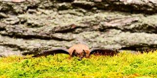 Forelimbs als vleugels wordt aangepast die Museum van Aard Zoogdieren natuurlijk geschikt voor ware en aanhoudende vlucht De spec stock fotografie