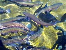 Forell i fiskHatchery arkivfoton