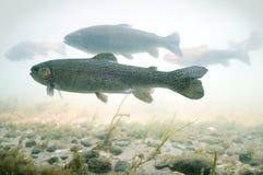 Forelle schwimmt in einen Fluss mit einer felsigen Unterseite lizenzfreie stockfotografie