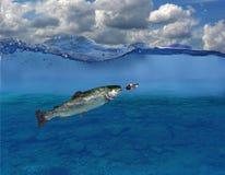 Forelle unter Wasser Stockbild