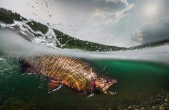 Forelle, Unterwasseransicht Lizenzfreie Stockfotos