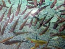 Forellefische - Unterwasserbild Stockbild