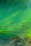 Forellen, die im Waldfluß schwimmen Lizenzfreies Stockfoto