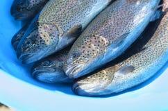 Forellenfische lizenzfreie stockbilder