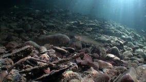 Forellfisk som är undervattens- i ström av vatten av Lena River i Sibirien av Ryssland