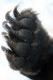 Forepaw Kamchatka bear, leg with claws Stock Photo