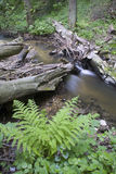 Fores creek. And the fern Royalty Free Stock Photography