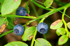 Fores fruits. Wild ripe bilberry berries. Stock Photography