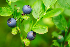 Fores fruits. Wild ripe bilberry berries. Stock Photo