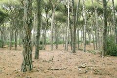 Foreshortening da floresta do pinho do feniglia fotos de stock