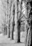 Forest. In black and white. Blurry trees on the background, the one in foregroud is in focus Royalty Free Stock Photo