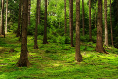 Forest. Scenery of forest with sun light Royalty Free Stock Photos