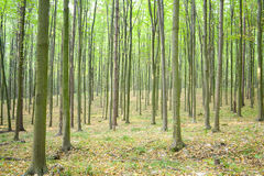 Forest. Morning wood with set of green trees Royalty Free Stock Images