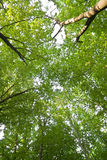 Forest. Green branches of trees in summer wood Stock Photo