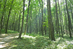 Forest. Morning forest with a footpath and sun beams Stock Image