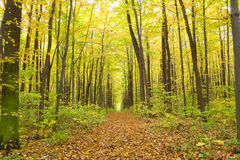 Forest. Old autumn forest in the morning pore of day Royalty Free Stock Photography