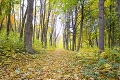 Forest. Old autumn forest in the morning pore of day Stock Photos