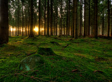 forest. A Danish forest where the sun l shine between the trees Royalty Free Stock Photos