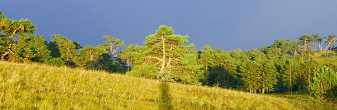 Forest. Bright sunset forest in summer Royalty Free Stock Photo