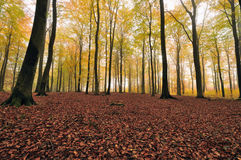 Forest. A foggy autumn day in the woods Stock Photos