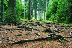 Forest. Czech forest in summer time, trees, roots royalty free stock images