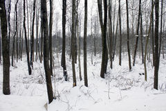 Forest. The trees covered with snow Stock Photography