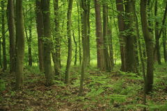 Forest. Deep forest in mid-summer Royalty Free Stock Photography