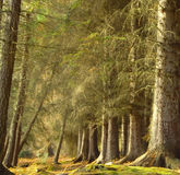 Forest. Of mature Scots Pine trees Stock Photo