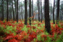 Forest. Beautiful landscape of the largest pine forest in Europe (Les Landes - Aquitaine Royalty Free Stock Image