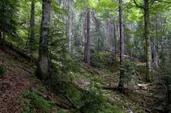 Forest. Mountain forest in summer. Forest thicket royalty free stock photography