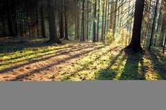 Forest. Sunset in forest, shadows of trees royalty free stock images
