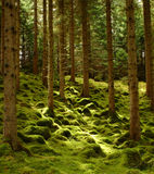 Forest. A blanket of moss covers a forest floor in the Highlands of Scotland Royalty Free Stock Images