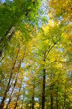Forest. Yellow and green trees in forest Stock Photo