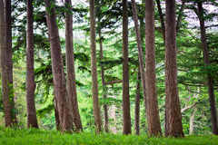 Forest. Picture of forest. Taken in Enniskerry among the ancient giant trees Stock Photos