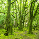 Forest. In Killarney National Park, County Kerry, Ireland Stock Images