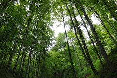 Forest. Deciduous forest with tall trees Stock Photography