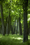 Forest. Dense trees in a green forest in spring Stock Photo