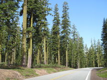 Forest. Coniferous forest in the mountains. Road in the woods Stock Photos