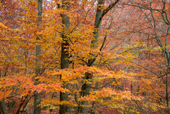 Forest. Beech forest in the province of Girona, in Catalonia, Spain Stock Photo