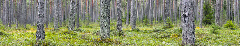 Forest. A large panorama photo of a forest with pine tree stems and green ground. The depth of field is narrow, only trees in front are in focus Stock Image