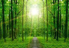 Forest. Nature tree . pathway in the forest with sunlight backgrounds Stock Photos