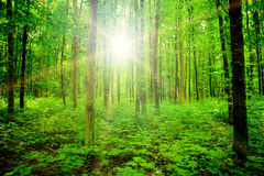 Forest. Nature tree . pathway in the forest with sunlight backgrounds Royalty Free Stock Photo