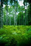 Forest. Birch forest with fern in a small clearing, warm, intimate atmosphere Stock Photos