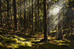 Forest. Sunbeams on the forest floor Royalty Free Stock Image