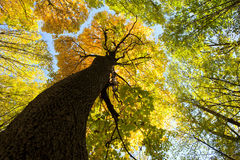 Forest. Autumn forest trees. nature green wood sunlight backgrounds Royalty Free Stock Photography