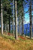 Forest. In Smrekovica - region Liptov, Slovakia stock image